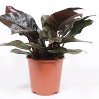 thumb-Philodendron Imperial red (27x70 cm)-2