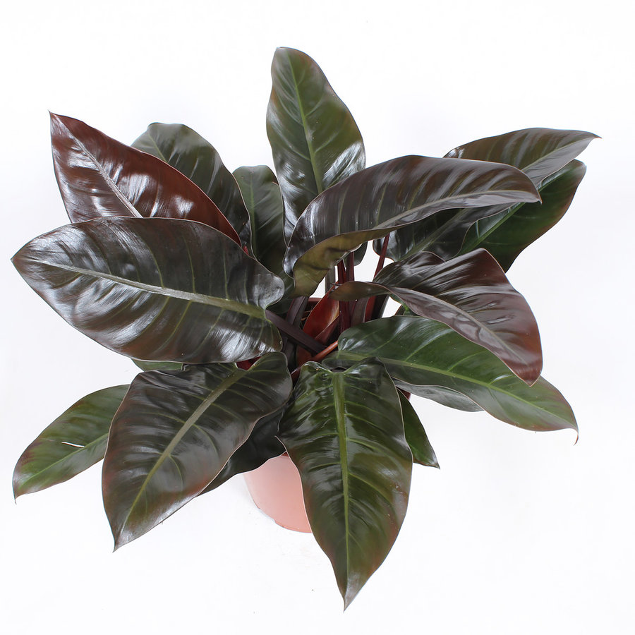 Philodendron Imperial red (27x70 cm)-3