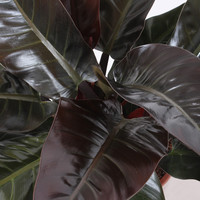thumb-Philodendron Imperial red (27x70 cm)-4