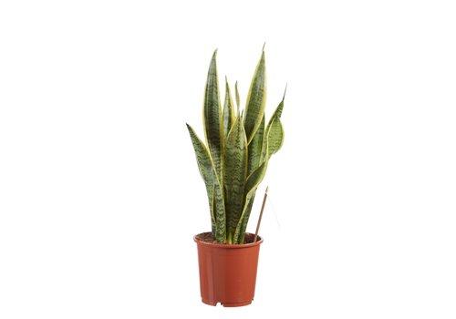 Sanseveria, vrouwentong (Sanseveria laurentii - 14x50 cm)