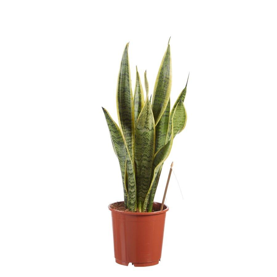 Sanseveria, vrouwentong (Sanseveria laurentii - 14x50 cm)-1