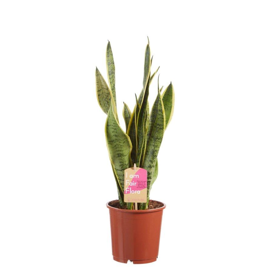 Sanseveria, vrouwentong (Sanseveria laurentii - 14x50 cm)-2
