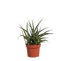 thumb-Sanseveria (Sanseveria Fernwood Punk - 12x30 cm)-1