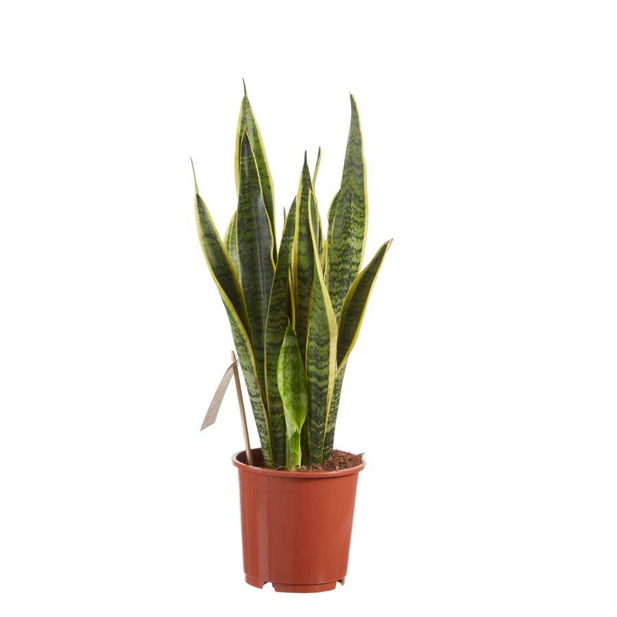 Sanseveria, vrouwentong (Sanseveria laurentii - 14x50 cm)-3
