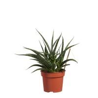 thumb-Sanseveria (Sanseveria Fernwood Punk - 12x30 cm)-2