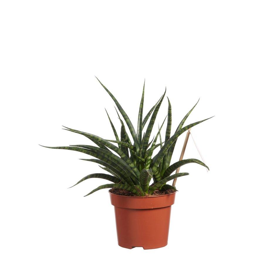 Sanseveria (Sanseveria Fernwood Punk - 12x30 cm)-2
