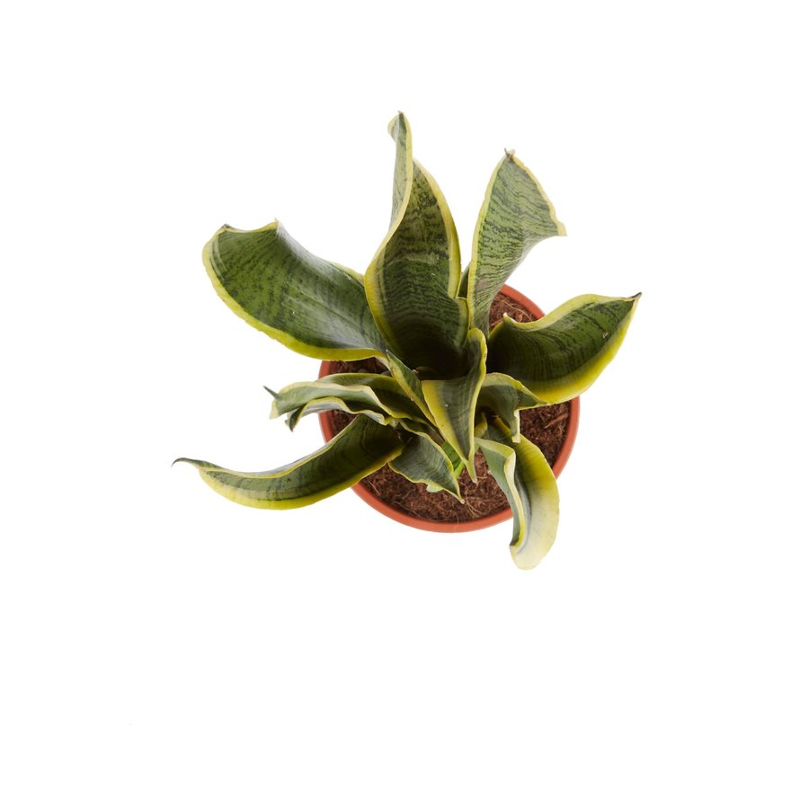 Sanseveria, vrouwentong (Sanseveria laurentii - 14x50 cm)-4