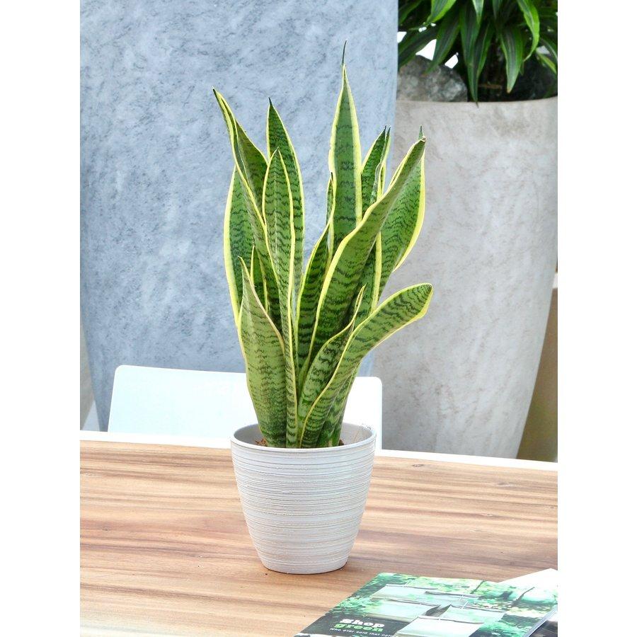 Sanseveria, vrouwentong (Sanseveria laurentii - 14x50 cm)-5
