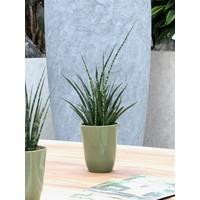 thumb-Sanseveria (Sanseveria Fernwood Punk - 12x30 cm)-4