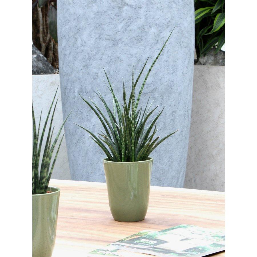 Sanseveria (Sanseveria Fernwood Punk - 12x30 cm)-4