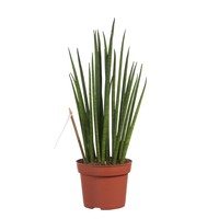 thumb-Sanseveria (Sanseveria Mikado - 12x40 cm)-1