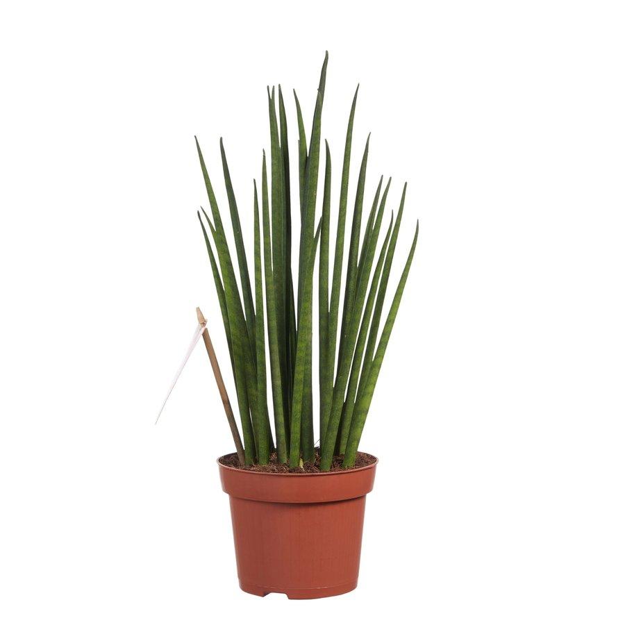 Sanseveria (Sanseveria Mikado - 12x40 cm)-1