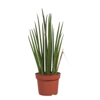 thumb-Sanseveria (Sanseveria Mikado - 12x40 cm)-2