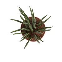 thumb-Sanseveria (Sanseveria Mikado - 12x40 cm)-3