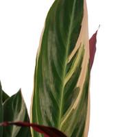 thumb-Decorum Calathea Triostar met Elho brussels antracite (19x85 cm)-2