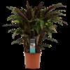 Decorum Calathea Elgergrass (CAL17ELG30D01 - 17x50 cm)