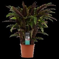 thumb-Decorum Calathea Elgergrass (CAL17ELG30D01 - 17x50 cm)-1
