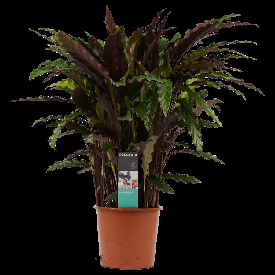 Decorum Calathea Elgergrass (CAL17ELG30D01 - 17x50 cm)-1
