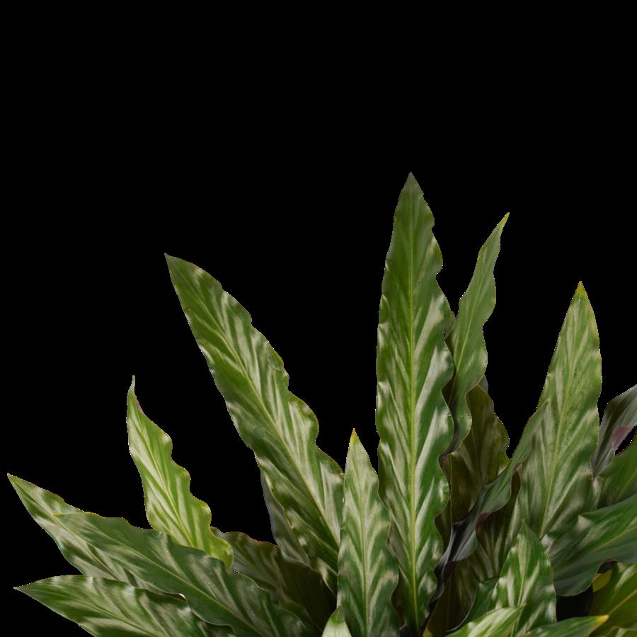 Decorum Calathea Elgergrass (CAL17ELG30D01 - 17x50 cm)-2