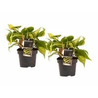 thumb-Decorum Duo Philodendron Brazil (12x15 cm)-1