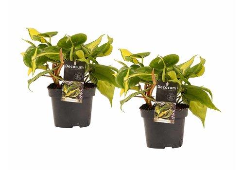 Decorum Duo Philodendron Brazil (12x15 cm)