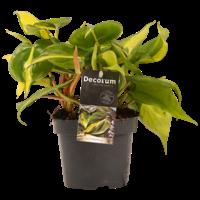 thumb-Decorum Philodendron Brazil (12x15 cm)-1