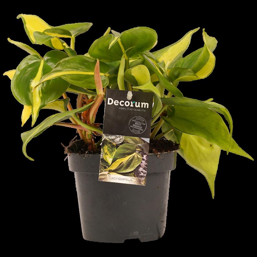 Decorum Philodendron Brazil (12x15 cm)-1