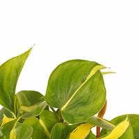 thumb-Decorum Duo Philodendron Brazil (12x15 cm)-2