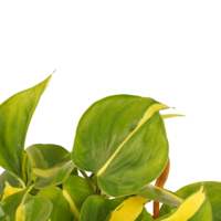 thumb-Decorum Philodendron Brazil (12x15 cm)-2