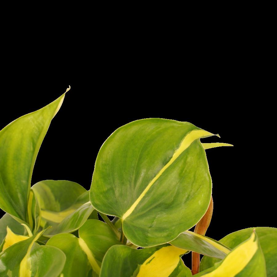Decorum Philodendron Brazil (12x15 cm)-2