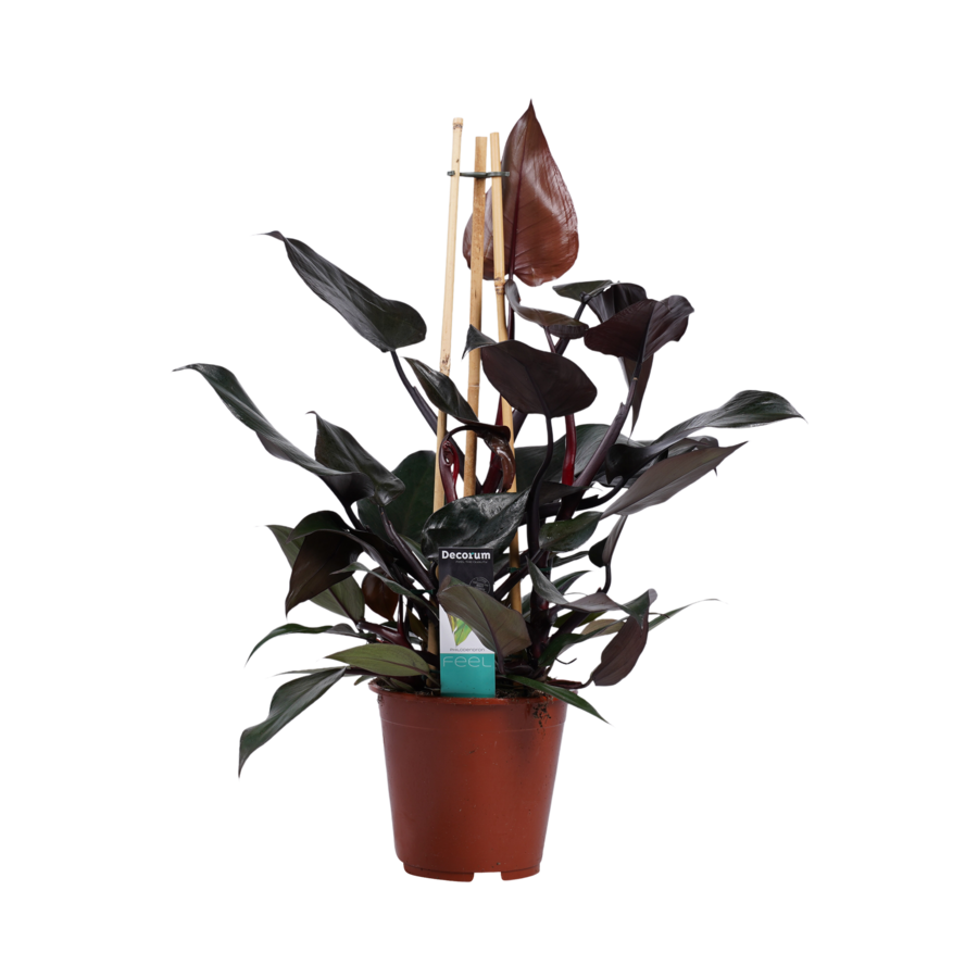 Decorum Philodendron Ruby  - Pyramide (DECORUM-RB19 - 19x65 cm)-1