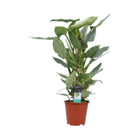 thumb-Decorum Philodendron Grey  - Pyramide (DECORUM-SQ19 - 19x70 cm)-1