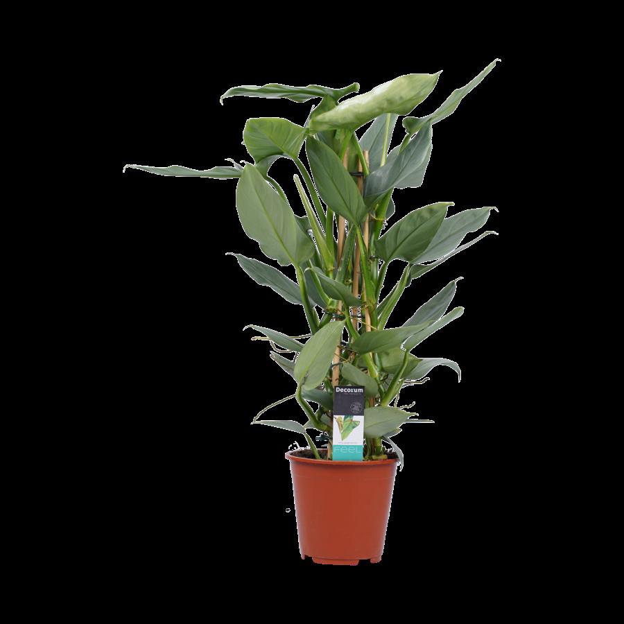 Decorum Philodendron Grey  - Pyramide (DECORUM-SQ19 - 19x70 cm)-1