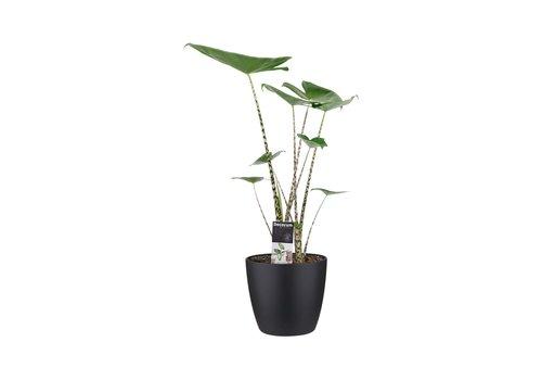 Decorum Alocasia Zebrina met ELHO brussels black (19x70 cm)