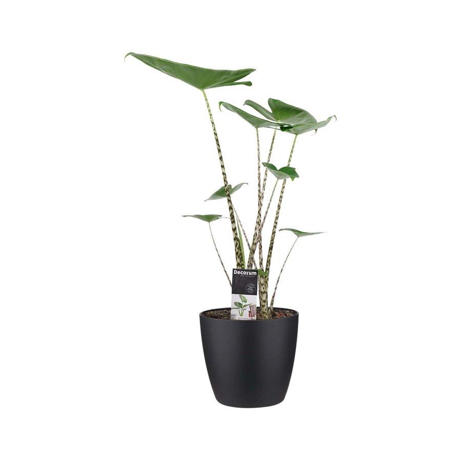 Decorum Alocasia Zebrina met ELHO brussels black (19x70 cm)-1