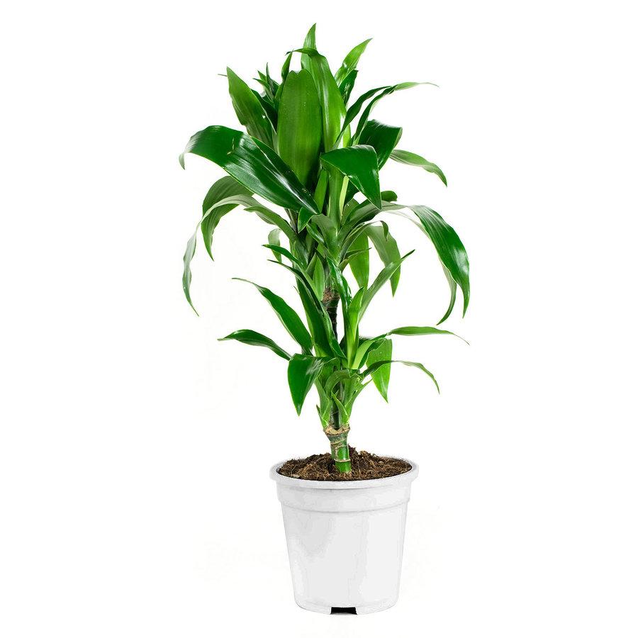 Dracaena fragans janet craig (17x65 cm)-2