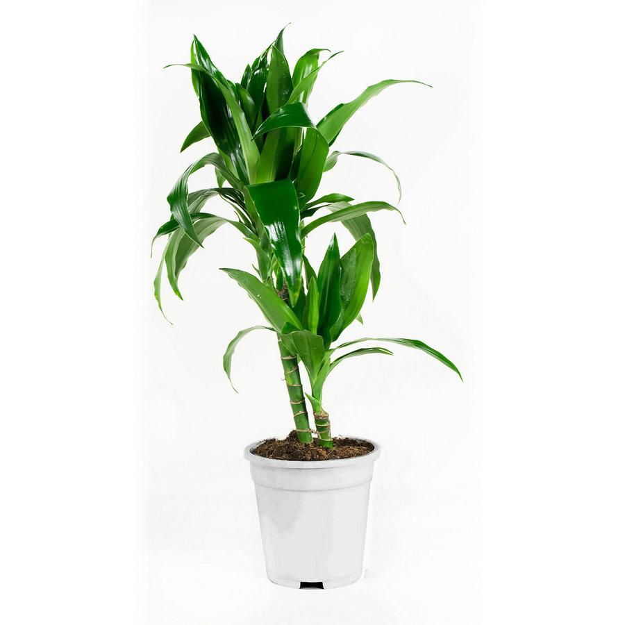 Dracaena fragans janet craig (17x65 cm)-3