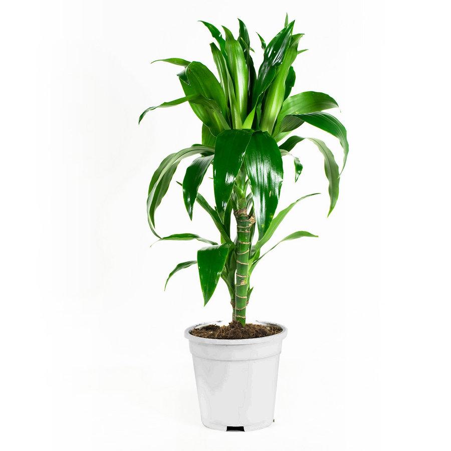 Dracaena fragans janet craig (17x65 cm)-4