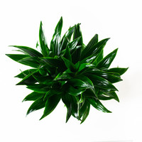 thumb-Dracaena fragans janet craig (17x65 cm)-7