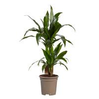 thumb-Dracaena Janet Graig (Dracaena deremensis Janet Graig - 17x70 cm)-2