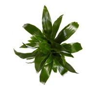 thumb-Dracaena Janet Graig (Dracaena deremensis Janet Graig - 17x70 cm)-3