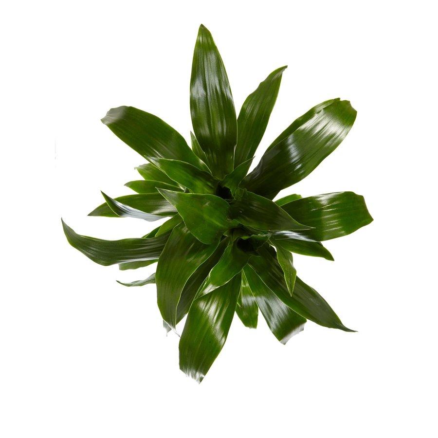 Dracaena Janet Graig (Dracaena deremensis Janet Graig - 17x70 cm)-3