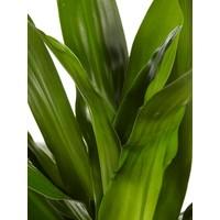 thumb-Dracaena Janet Graig (Dracaena deremensis Janet Graig - 17x70 cm)-4