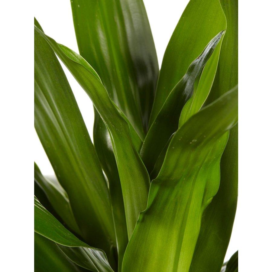 Dracaena Janet Graig (Dracaena deremensis Janet Graig - 17x70 cm)-4