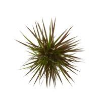 thumb-Dracaena Margenta (Dracaena marginata Margenta - 17x80 cm)-4
