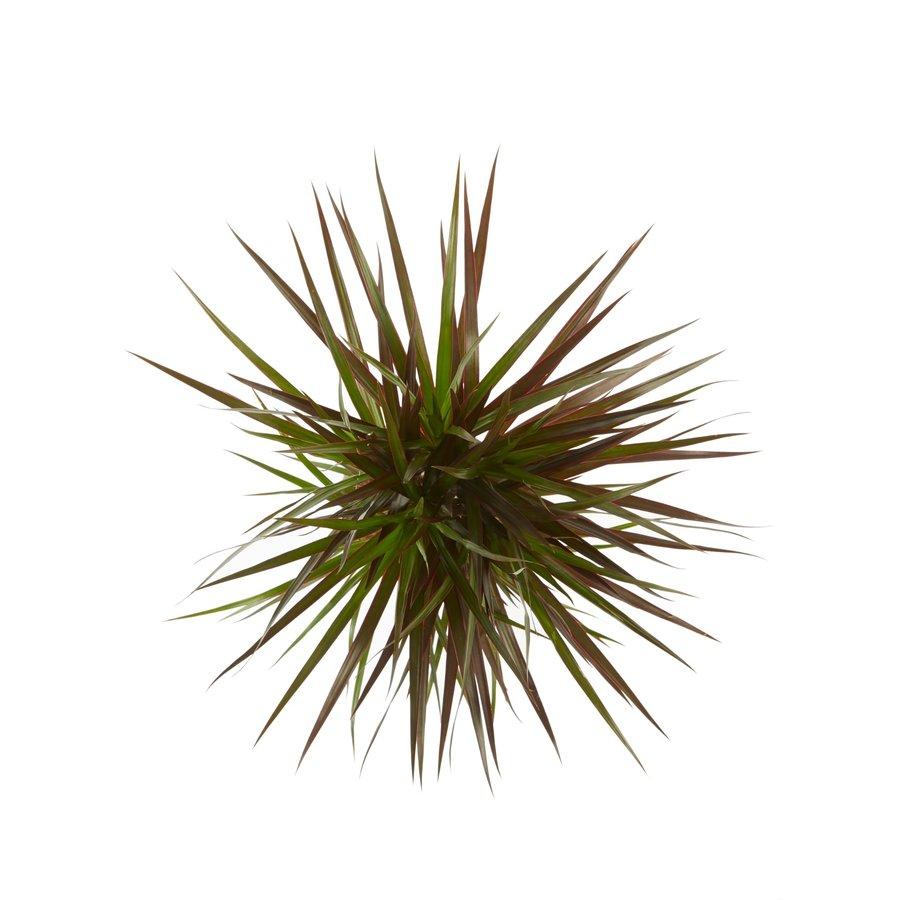 Dracaena Margenta (Dracaena marginata Margenta - 17x80 cm)-4