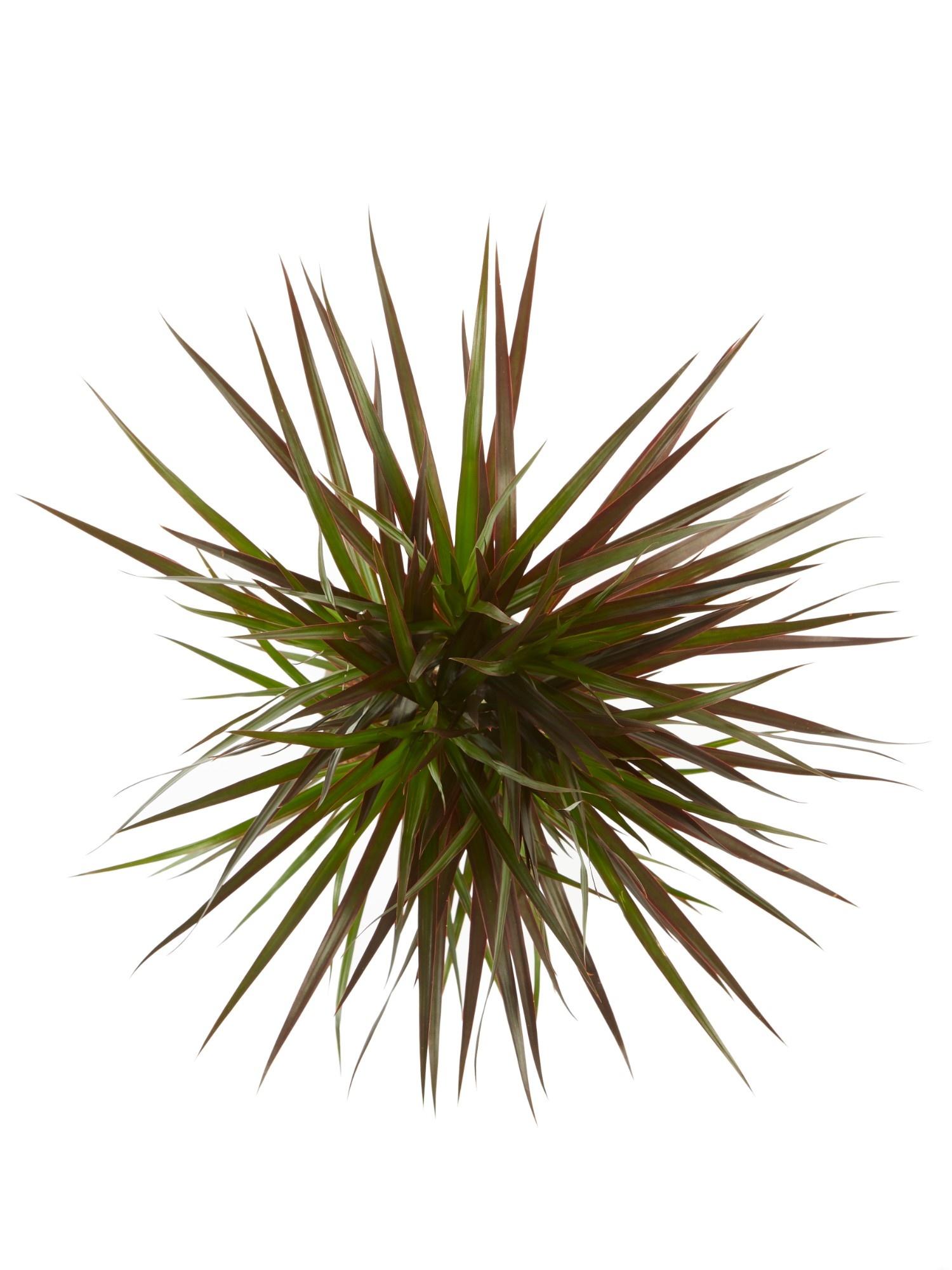 Dracaena Margenta (Dracaena marginata Margenta - 17x80 cm)