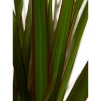 thumb-Dracaena Margenta (Dracaena marginata Margenta - 17x80 cm)-5