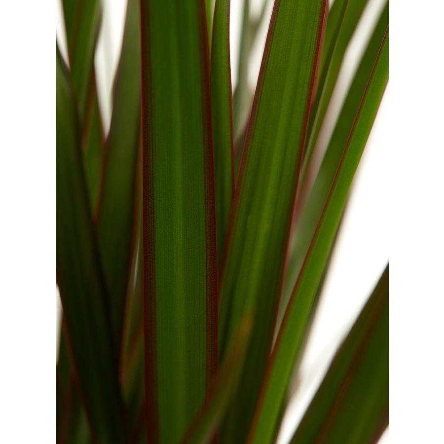 Dracaena Margenta (Dracaena marginata Margenta - 17x80 cm)-5