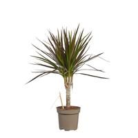 thumb-Dracaena Margenta (Dracaena marginata Margenta - 11x45 cm)-1